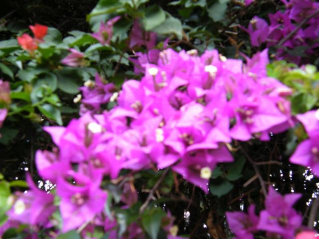 Guatemala Flowers