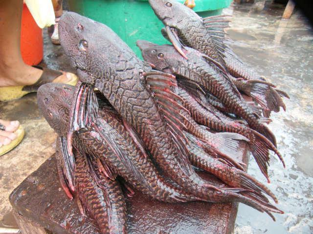 Amazon river fish in belen market for River fish market