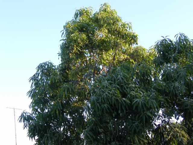 Mexican Mango Tree Mex...