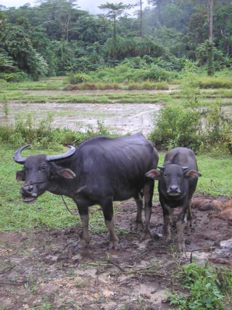Water Bufalo