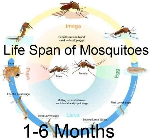 Mosquitoe Life