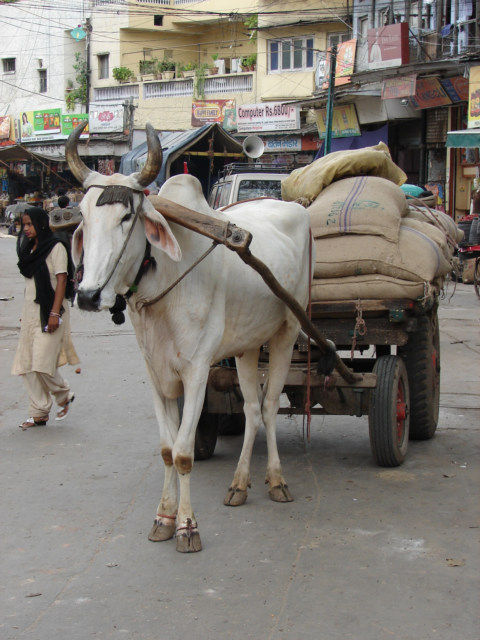 Most of the local residence constantly uses Animal-powered vehicles.